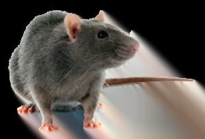 Rat: Service d'extermination