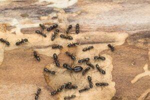 fourmi charpentière ou termite