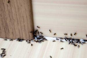invasion de fourmis dans la maison