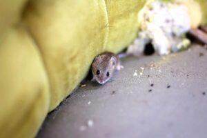 répulsif pour souris