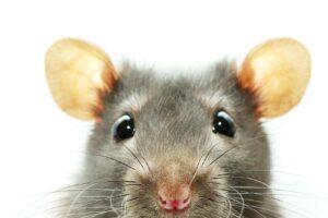ultrasons pour éloigner les souris